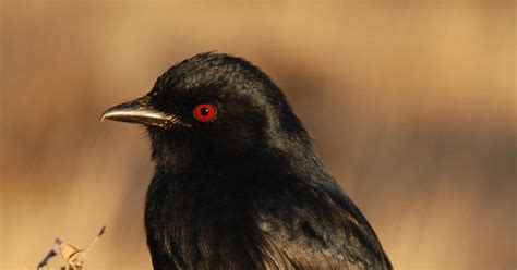 African Bird Uses Sound Effects to Bamboozle Other Species